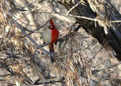 Researchers able to perform extended study of stunning wild northern cardinal gynandromorph | animals and prosocial capacities | Scoop.it