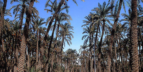 Ministry of Agriculture to provide pesticides to combat palm weevil ... | CRP | Scoop.it