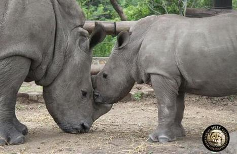Orphaned baby rhinos inseparable after their mothers are killed by poachers | Help save our Rhino | Scoop.it