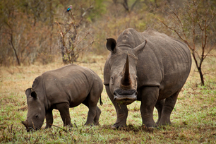 How Children in Vietnam May Prevent the Rhino's Extinction | What's Happening to Africa's Rhino? | Scoop.it