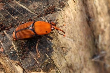 Les charançons attaquent et les palmiers français sont en danger | EntomoNews | Scoop.it