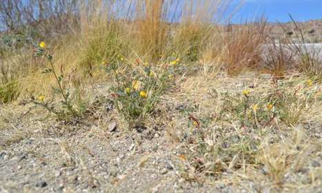 Bacteria beneficial to plants have spread across California | Plant-Microbe Symbiosis | Scoop.it