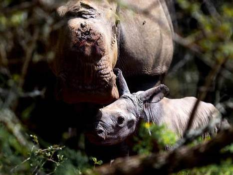 A miracle birth: Rhino poaching victim has baby against all odds | Endangered Wildlife | Scoop.it