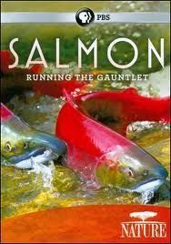 "VIDEO: ""Running the Gauntlet"" Salmon, Dams, Energy and Ecocide 