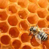 Planète : l'Europe au secours des abeilles - RTBF Matin premiere | ALTERAPI | Scoop.it