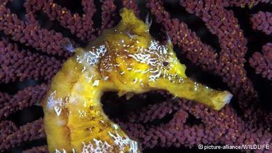 #Dynamite #fishing threatens Cambodia's #Seahorses  #Environment  08.01.2014 | Rescue our Ocean's & it's species from Man's Pollution! | Scoop.it