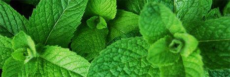 20 manières d'utiliser la menthe   Santé par les plantes   Scoop.it