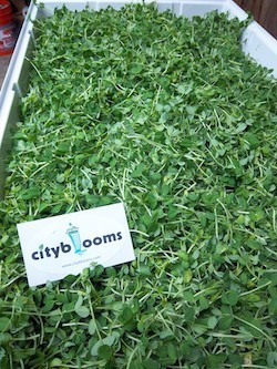 Hydroponic Urban Ag Startup Seeks to Create Scalable, Sustainable and Affordable Model to Feed Cities | Vertical Farm - Food Factory | Scoop.it