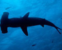 Hammerhead Sharks Have Stereo Vision VIDEO : Discovery News | OUR OCEANS NEED US | Scoop.it