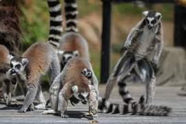 Baby lemurs make their public debut - Sydney Morning Herald | Ring Tailed Lemurs | Scoop.it