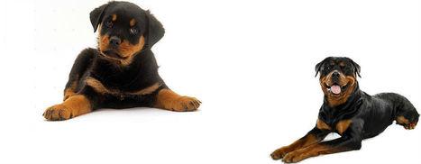 Rottweiler Headquarters | Rott Training Advice, Breeders & More | Dog Love | Scoop.it