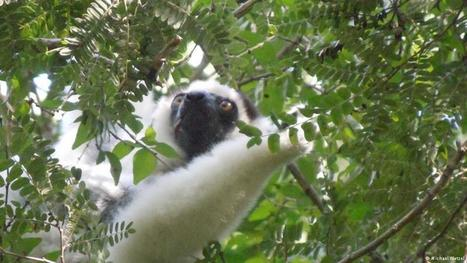 Madagascar's lemurs - cute forest dwellers soon losing their home? | Biodiversity | DW.COM | 26.04.2016 | Farming, Forests, Water, Fishing and Environment | Scoop.it