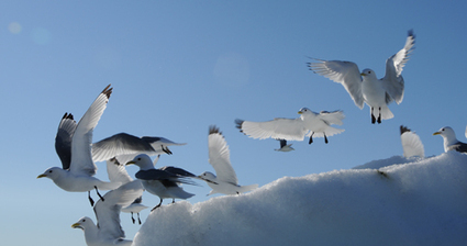 Quand le mercure empêche la reproduction des mouettes arctiques | Nature Animals humankind | Scoop.it