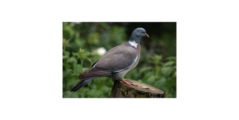 Woodpigeon Roost Season – Hunting Boots and Clothes | bookmark | Scoop.it