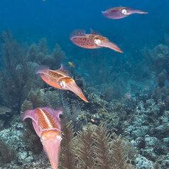 Underwater Belize - Squid School, Southwater Caye, Belize | Belize in Social Media | Scoop.it