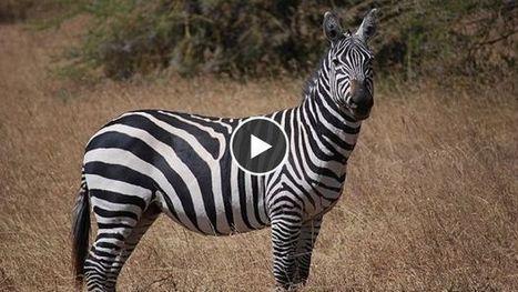 Pourquoi les zèbres ont-ils des rayures ? | Ma Bretagne | Scoop.it