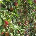 Campagne pommes 2013/2014  : de bons fondamentaux de marché | RDV Agri, Actu des Professionnels de l'Agriculture. | Scoop.it