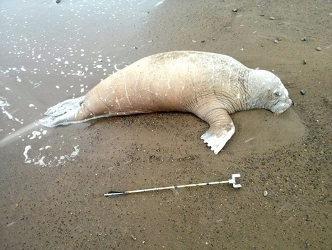 25 #Walruses Killed on Alaskan Beach, #Beheaded and #MissingTusks | Rescue our Ocean's & it's species from Man's Pollution! | Scoop.it