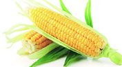 India: On and off goes maize inPunjab | Punjab agriculture Summit | Scoop.it
