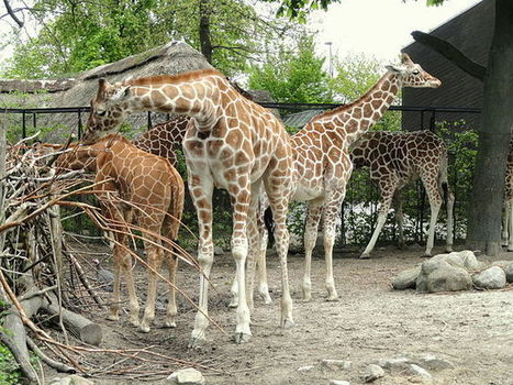 Marius The Giraffe Is Every Zoo Animal | Tim Zimmermann | Zoos should not exists | Scoop.it