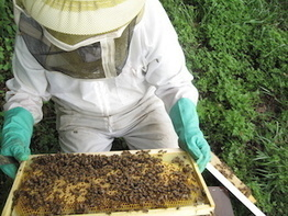 Pesticides Not the Sole Culprit in Honey Bee Colony Declines - U Maryland (2015) | Ag Biotech News | Scoop.it