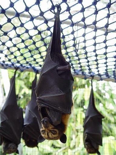 Non-Echolocating Bats Actually Echolocate Using Wing Clicks | Strange Animals | Strange animals | Scoop.it