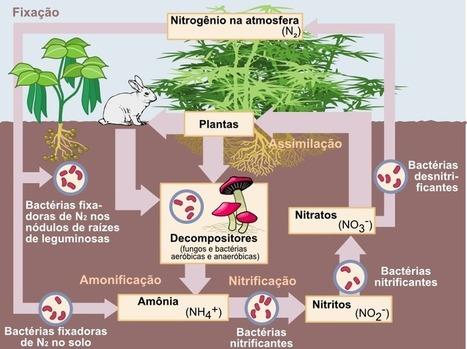 Nitrogen_Cycle_pt.png (804x602 pixels) | Aulas de Biologia do 1º ano - Escola da Vila | Scoop.it