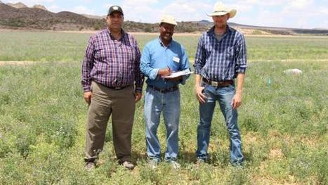 Alfalfa: High cutworm damage, gains made in TRR control in Arizona | Western Farm Press | CALS in the News | Scoop.it