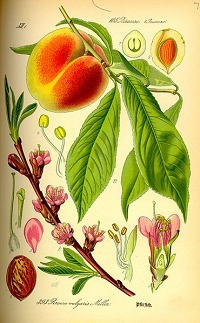 Peach genome offers insights into breeding strategies for biofuels crops | Research from the NC Agricultural Research Service | Scoop.it