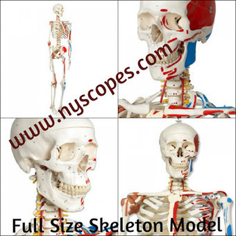 Tips For Choosing The Right Human Skeleton Model | New York Microscope Company | Scoop.it