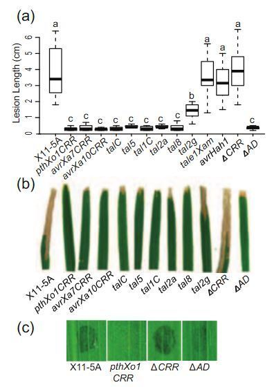 A resistance locus in the American heirloom rice variety Carolina Gold Select is triggered by TAL <br/>effectors with diverse predicted targets and is effective against African strains of Xanthomonas o... | pathogens | Scoop.it