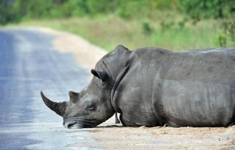 Afrique du Sud : Deux braconniers de rhinocéros tués par des gardes-chasse | The Blog's Revue by OlivierSC | Scoop.it
