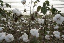 Monsanto file un mauvais coton en Chine - Les influences : des idées et des hommes | La Chine écologie | Scoop.it