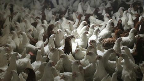 France: un cas de grippe aviaire détecté en Dordogne  - France - RFI | Elevage | Scoop.it