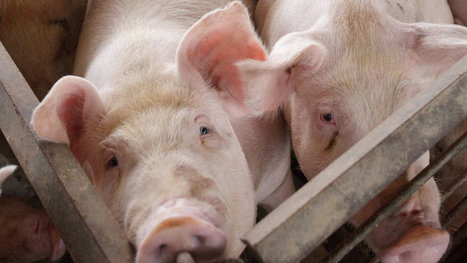 F.D.A. Restricts Antibiotics Use for Livestock | REAL World Wellness | Scoop.it
