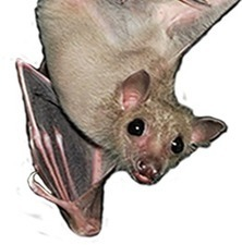 What To Do If You've Found a Bat | Our Evolving Earth | Scoop.it