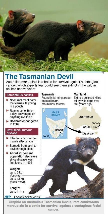 Australia's Tasmanian devils to get fresh start free of facial infectious tumor on new island   Devil Facial Tumour Disease   Scoop.it