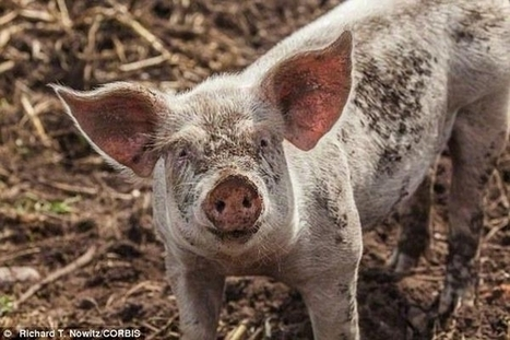 Animal Empathy: Do Pigs Have Feelings Too? | Empathy and Compassion | Scoop.it