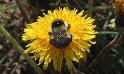UK's five rarest bumblebees make a comeback | Environment | The Guardian | Pollinator conservation and diversity | Scoop.it