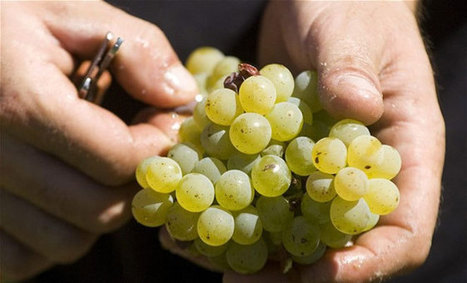Grape seed extract can kill cancer cells | Sustain Our Earth | Scoop.it