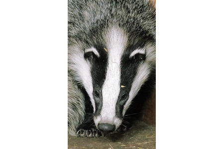 Badger cull moves to top of political agenda in Gloucestershire | The Wild Planet | Scoop.it