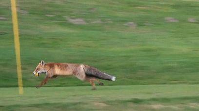 Kettu kiusaa golfareita Sveitsissä - video | Iloa elämään | Scoop.it