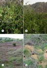 ScienceDirect.com - Journal of Archaeological Science - Six seasons of wild pea harvest in Israel; bearing on Near Eastern plant domestication | Archaeobotany and Domestication | Scoop.it