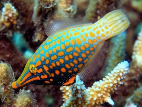 The harlequin filefish uses 'smell camouflage' to hide from predators | Amazing Science | Scoop.it