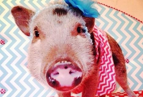 Instagram's Biggest Rising Star? A Pig Named Penelope Popcorn   Digital-News on Scoop.it today   Scoop.it