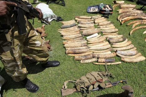 Addressing Poaching as Terrorism | Wildlife Trafficking: Who Does it? Allows it? | Scoop.it