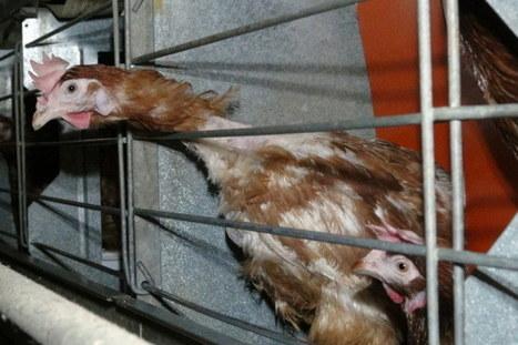La justice française interdit la diffusion d'images de deux élevages intensifs   Le recours aux forêts   Scoop.it
