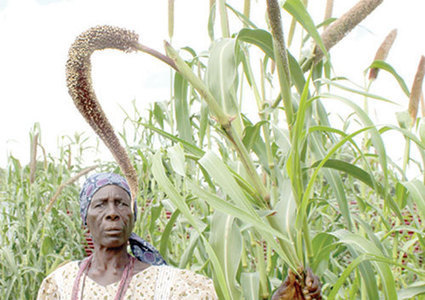 Mahangu crops under worm attack - New Era | Africa and Beyond | Scoop.it