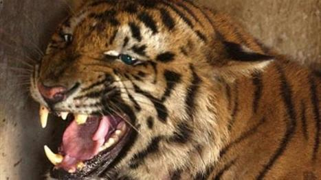 Tiger deaths on the rise in India | Wildlife Trafficking: Who Does it? Allows it? | Scoop.it