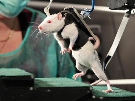 Ratas con parálisis vuelven a caminar   Salud y desarrollo científico   Scoop.it